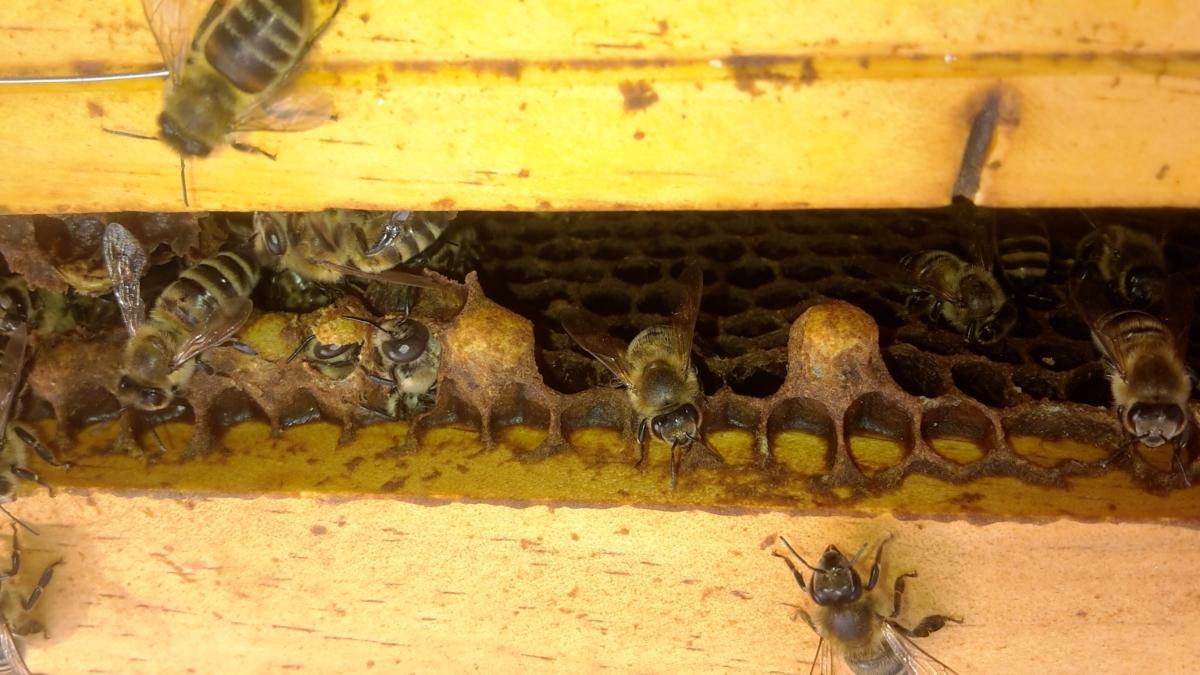 Neues von der EFS-Bienen-AG